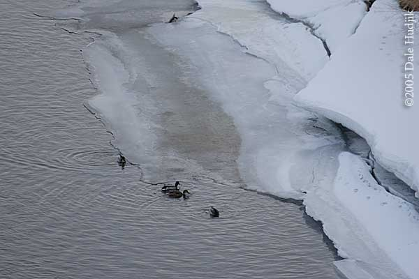 Ducks in icy river
