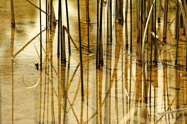 Reflections of reeds