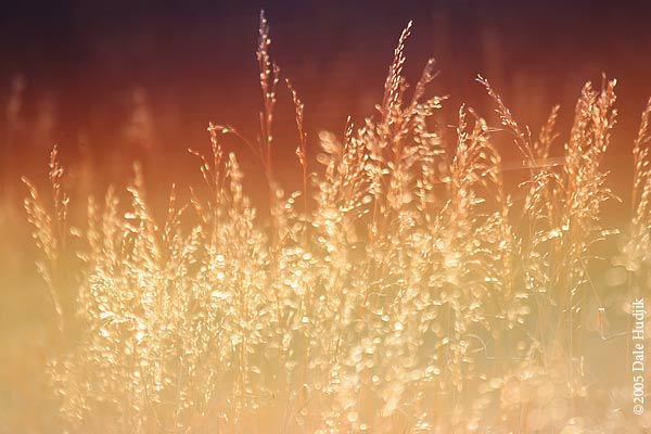 Fiery Light - Grass in the Setting Sun.