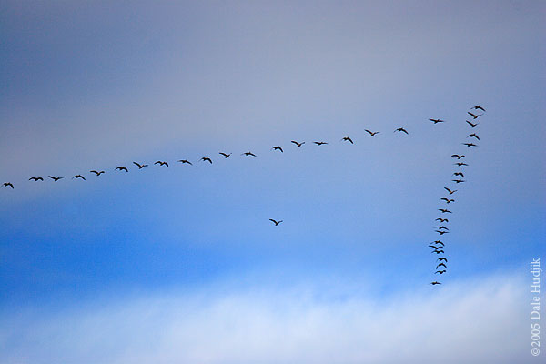 Snow Geese Flying in Formation.