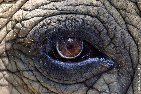 The eye of an elephant
