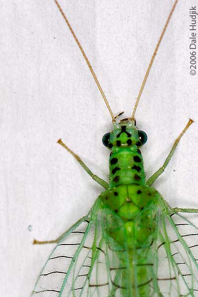 Lacewing (full body)