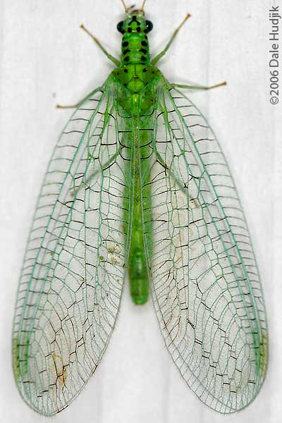 Lacewing (head)