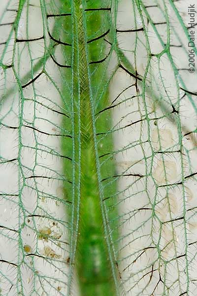 Lacewing (detail of wing)