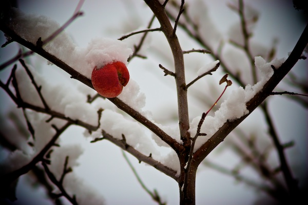 Apple on Snowy Tree